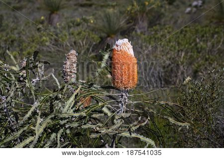 Woolly Orange Banksia - Endemic wild flower in Western Australia at Kalbarri region