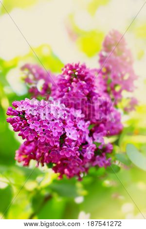Pink lilac flowers. Nature background. Spring time