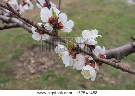 Flowering Branch Of Apricot In The Garden