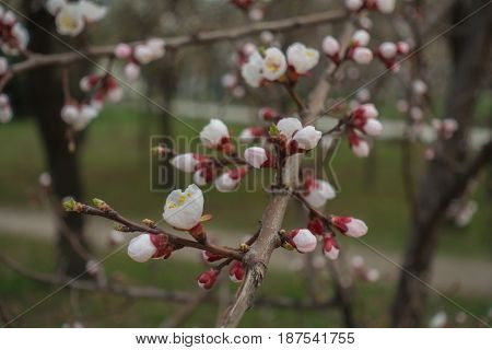 Half-opened Flowers And Buds Of Apricot Tree