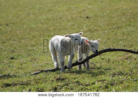 Two New Born Lambs Playing with a Piece of Wood.