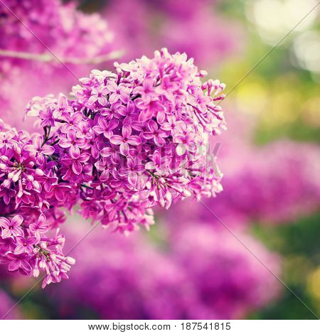 Blossoming Lilac Flowers In Sunny Day