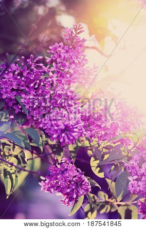 Blossoming Flowers Of Lilac