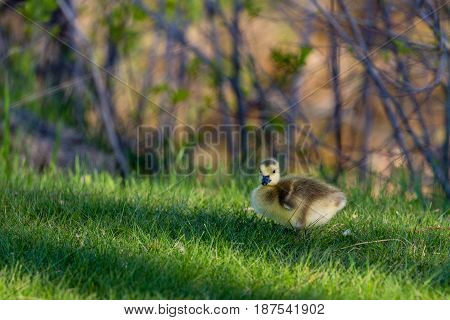 Canada Goose (branta canadensis) gosling standing in a Wisconsin field in May