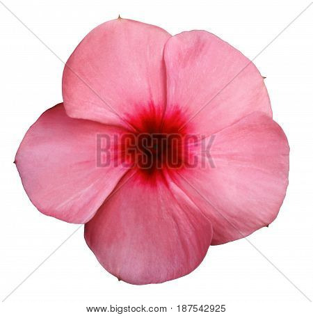Flower pink-red violets. White isolated background with clipping path. Closeup. no shadows. Nature.