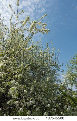 Flowering Branches Of Prunus Padus Against The Sky