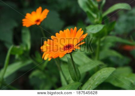 Beautiful flower background. Calendula officinalis, bright orange medicinal herb in summer garden.