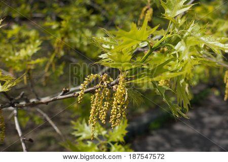 Flowering Branch Of Quercus Rubra In Spring