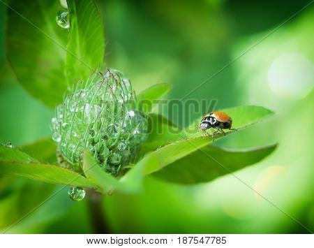 Insect Ladybug on flowers with dew drops