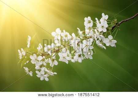 Blossoming of cherry flowers in spring time, natural sunny seasonal floral background