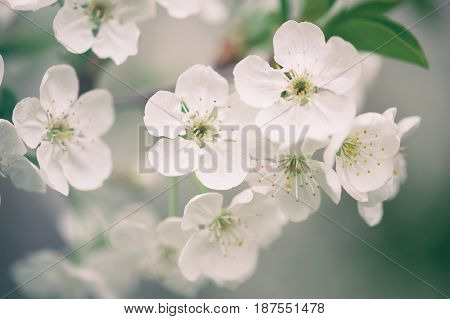 Blossoming of cherry flowers in spring time, natural seasonal floral background. Macro image