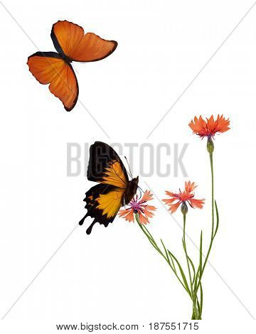 orange chicory flowers flowers and butterflies isolated on white background