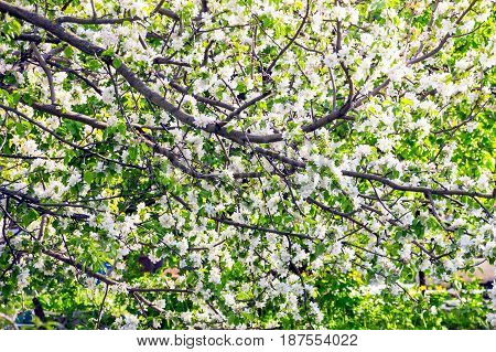 Blooming branches of apple trees in spring 1