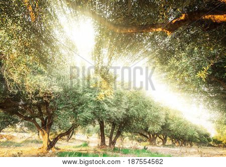 Sunlight shining through the olive trees in the garden.