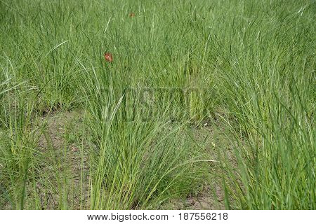 Grassland Covered With Green Needle Grass (stipa)