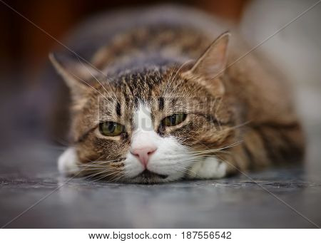 Portrait of the sad striped cat lying on a floor.
