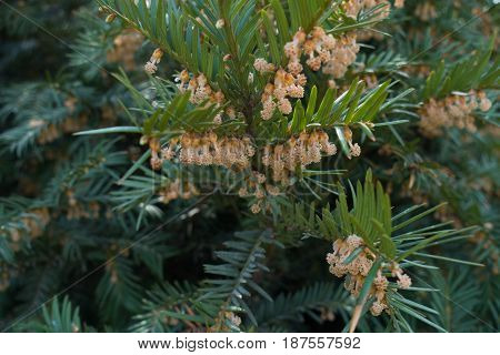 Branches Of Yew With Male Cones And Dark Green Leaves