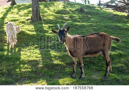 cozy goat farm with green grass on sunny day