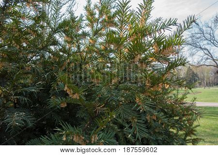 Flowering Shrub Of English Yew In The Park