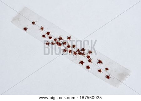 dog ticks stick on transparent adhesive tape to death in white background