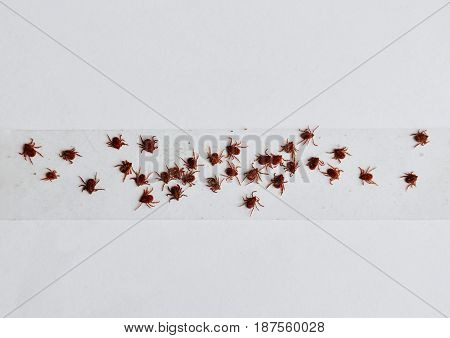 dog ticks got kill by stick on transparent adhesive tape in white background