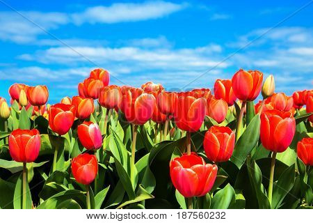 Bright field of red tulips. Spring tulips flowers.