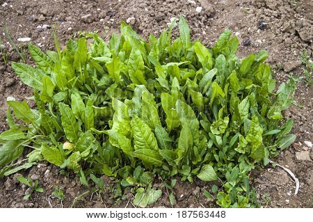 Rumex acetosella plant used in alternative medicine field