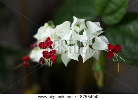 flower with white and red petals, houseplant