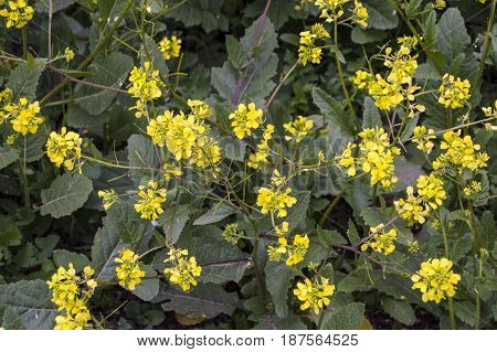 Sinapis arvensis plant used in alternative medicine field