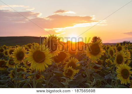 beautiful sunset on a sunflower field in sun rays