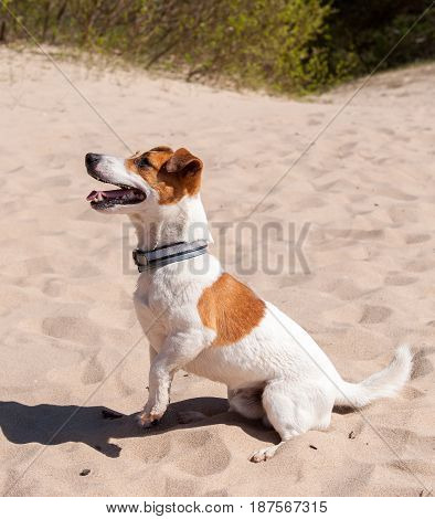 Dog Jack Russell sits on the sea in the sand