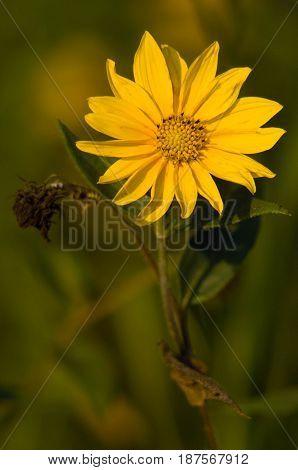 Arkansas Wild Sun Flower blooming in Field
