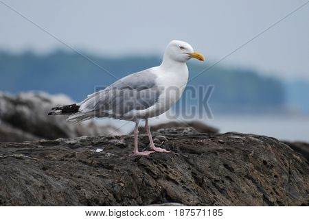 Beautiful seagull standing on a rock in coastal Maine.