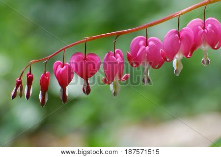 Flowering pink lyre flower in a garden.