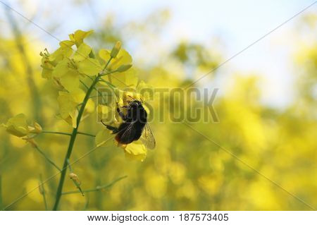 Bee pollinated canola. Pollinate a flower on the field of an insect