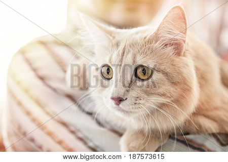 Beautiful fluffy cat breeds Persian Angora closeup.