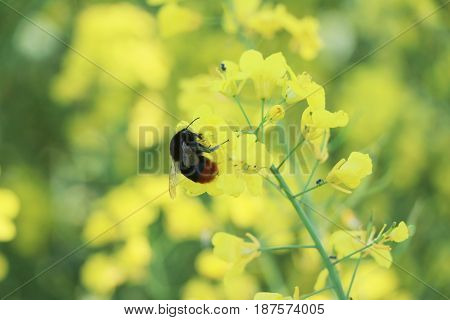 Canola flower and bee pollinate. Plant on the field with insect