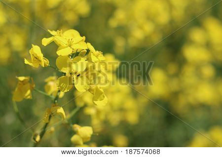 Canola flower and insect closeup. Beautiful yellow flower
