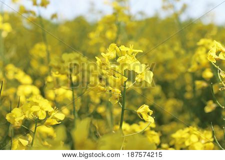 Canola flower closeup. Beautiful yellow natural bio fuel
