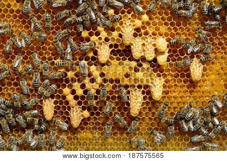 Waxen cottage for growing of chapter of bee family. The young queen bee