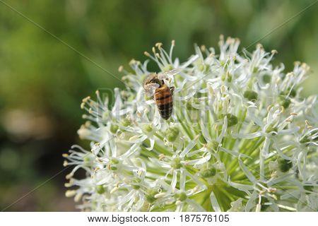 Bee in blossom at Schreiner's Iris Gardens
