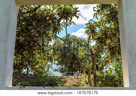 View through window of loquat trees in Guatemalan highlands. Locally called nispero.