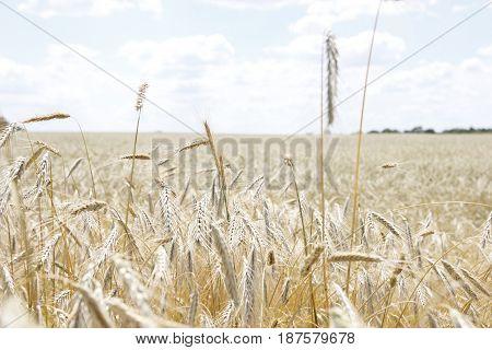 Поле с колосками пшеницы в солнечный день