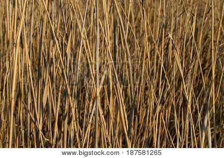 Background texture of a slender dried cane in light brown tones
