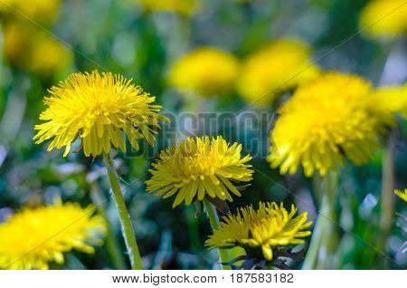Close-up view of a yellow dandelion flowers. Blooming buds of dandelions. Nature background. Taraxacum platycarpum