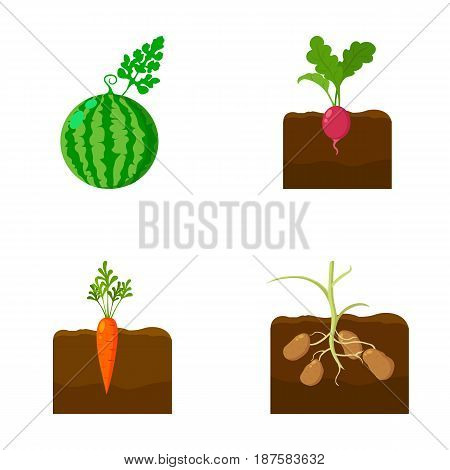 Watermelon, radish, carrots, potatoes. Plant set collection icons in cartoon style vector symbol stock illustration .