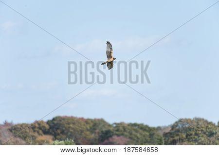 Female Northern Harrier on slow prowl over beach shrubs