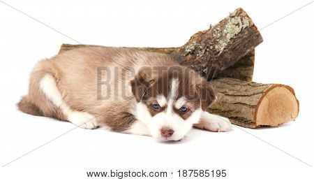 Brown puppy siberian husky with blue eyes lying, isolated on a white background