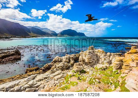 Large cormorant flies over the coast. The boulders and algae of the Atlantic. Boulders Penguin Colony National Park, South Africa. The concept of  ecotourism
