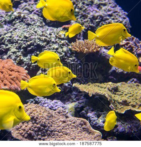 Yellow Tang fish or Zebrasoma Flavesenes in the aquarium